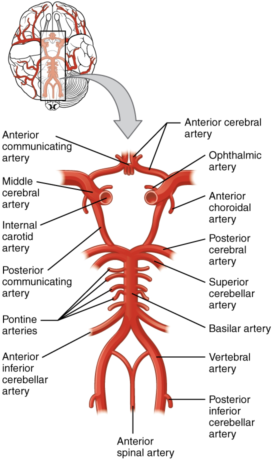 Nerves  Blood Vessels And Lymph  U2013 Advanced Anatomy 2nd  Ed