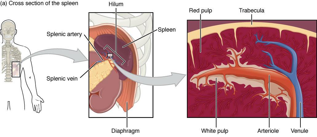 Visceral Organs Advanced Anatomy 2nd Ed