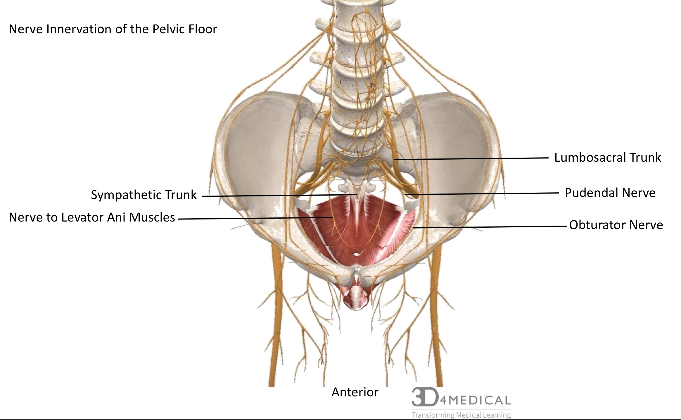 Perineal Nerve | www.topsimages.com