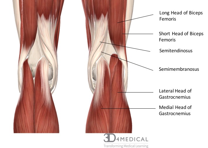 Muscles – Advanced Anatomy 2nd  Ed
