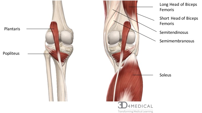 diagram representing the posterior view of the insertion points of the  quadriceps muscles and the origins of the leg muscles