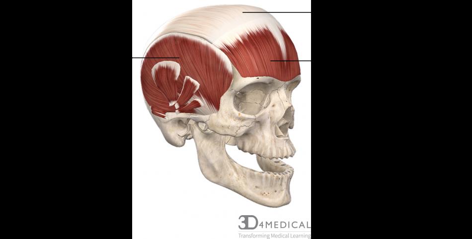 muscles advanced anatomy 1st ed