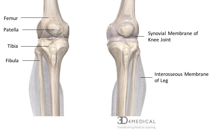 Joints, Ligaments and Connective Tissues – Advanced Anatomy ... on knee injuries, knee schematic, knee articular cartilage, medial collateral ligament, knee brace patellar tendon strap, knee cap popped out of place, knee bones, knee arthritis symptoms, medial meniscus, knee and leg tendons, sacroiliac joint, knee pain, posterior cruciate ligament, hinge joint, knee patella, knee drawing, knee exercises, anterior cruciate ligament injury, knee high heels, knee biology, knee osteoarthritis, knee flexion and extension, synovial joint, knee bursa, knee model, knee movements, knee arthroscopy, knee structure, knee outline, anterior cruciate ligament,