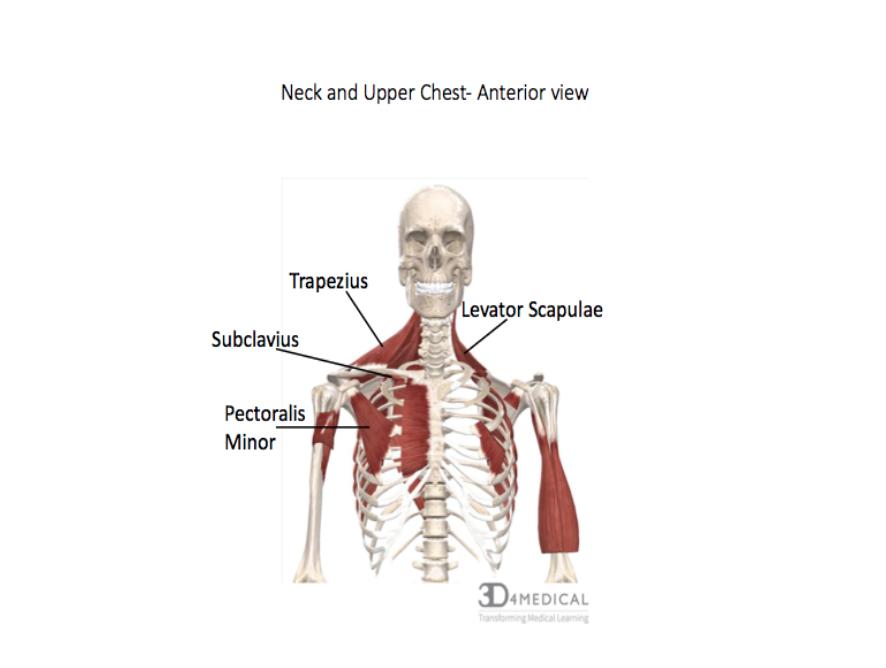 Muscles Advanced Anatomy 2nd Ed