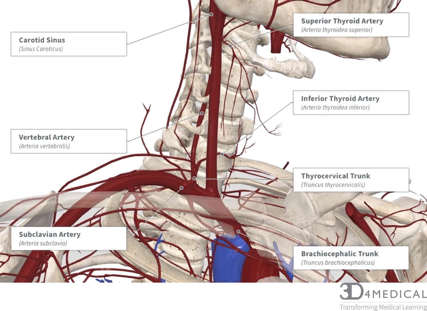 Nerves, Blood Vessels and Lymph – Advanced Anatomy 1st Ed.