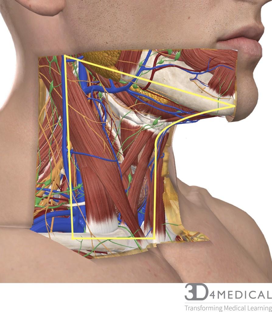 Surface Anatomy Advanced Anatomy 2nd Ed