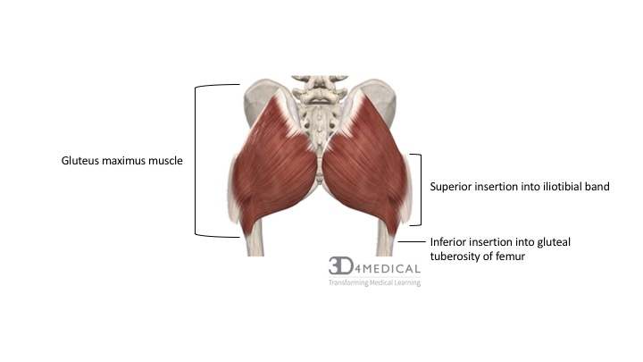 approximately 75% of the gluteus maximus fibers insert into the iliotibial  tract of the fascia latae, while 25% of the fibers insert into the gluteal