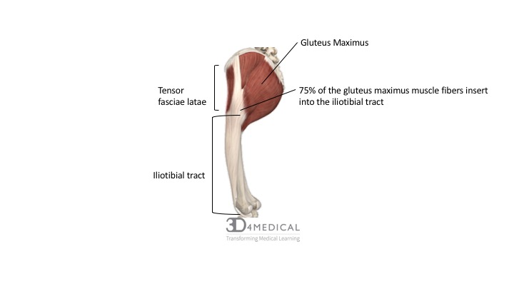 of the gluteus maximus muscle  the it band spans the lateral surface of  the femur, crossing the knee joint and inserting onto the lateral tibial  plateau