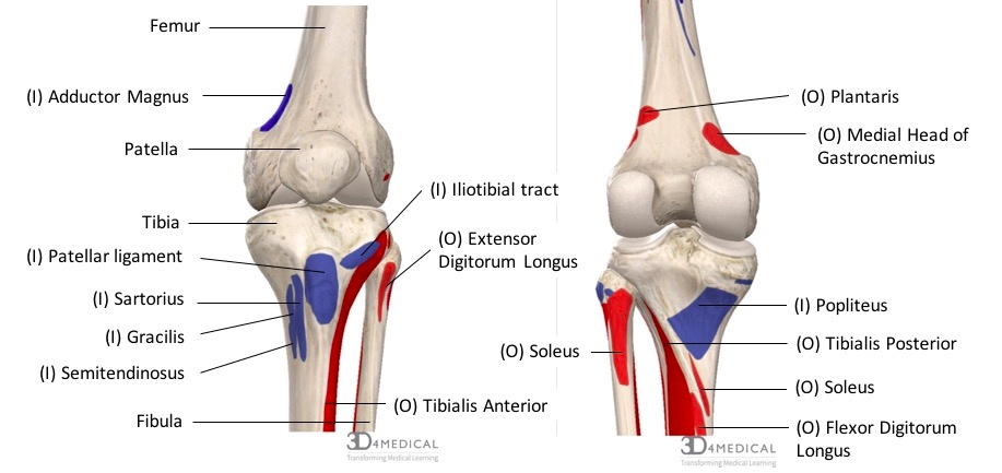 diagram demonstrating the anterior (right) and posterior (left) muscle  origins (red) and insertion (blue) of muscles along the femur, tibia and  fibula