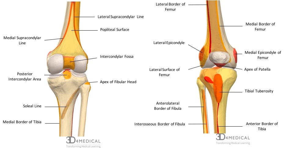 bones \u2013 advanced anatomy 2nd ed Iliac Crest diagram demonstrating the anterior (right) and posterior (left) bony landmarks and features of the femur, patella, tibia and fibula