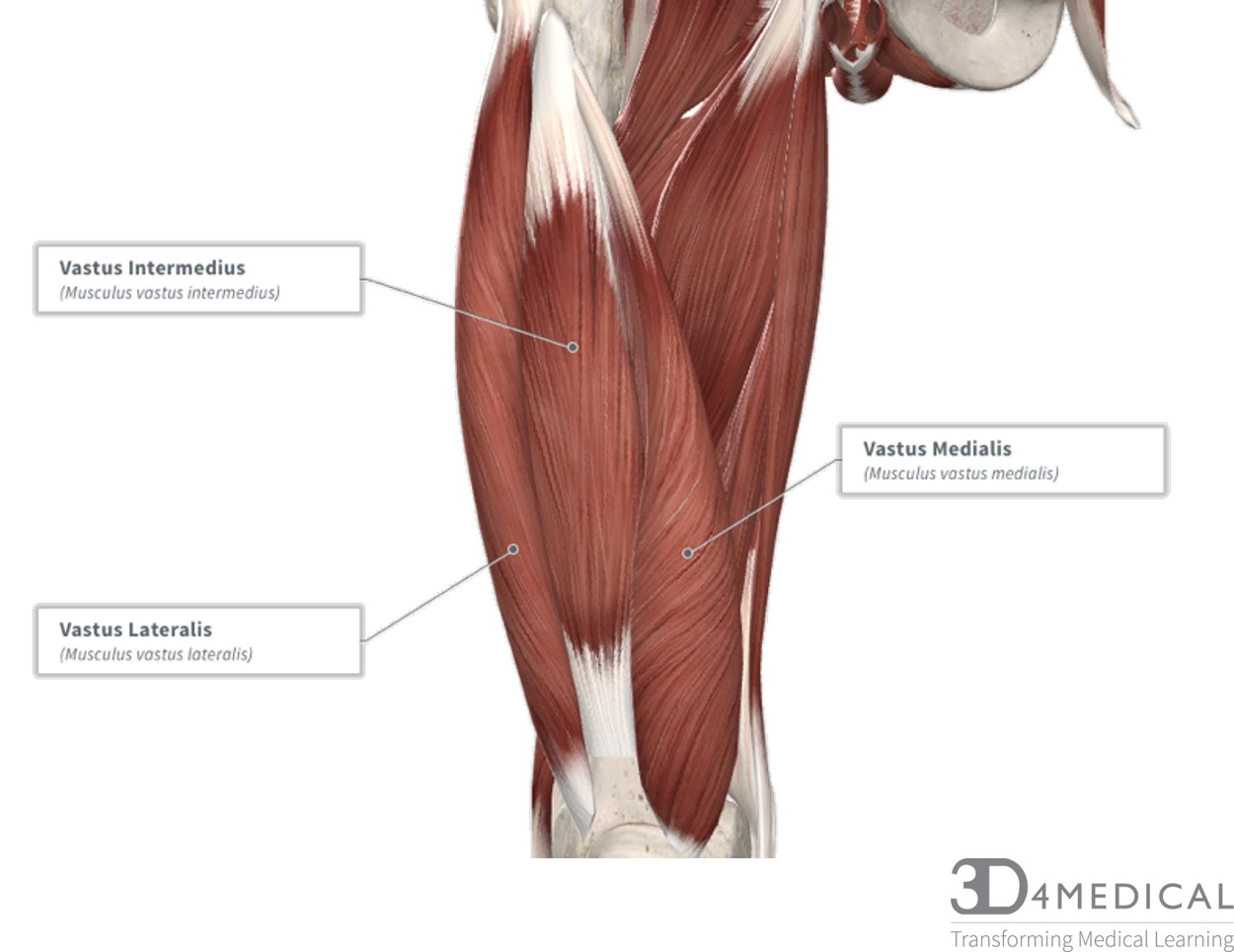 Wiring And Diagram  Diagram Of Upper Leg Muscles And Tendons