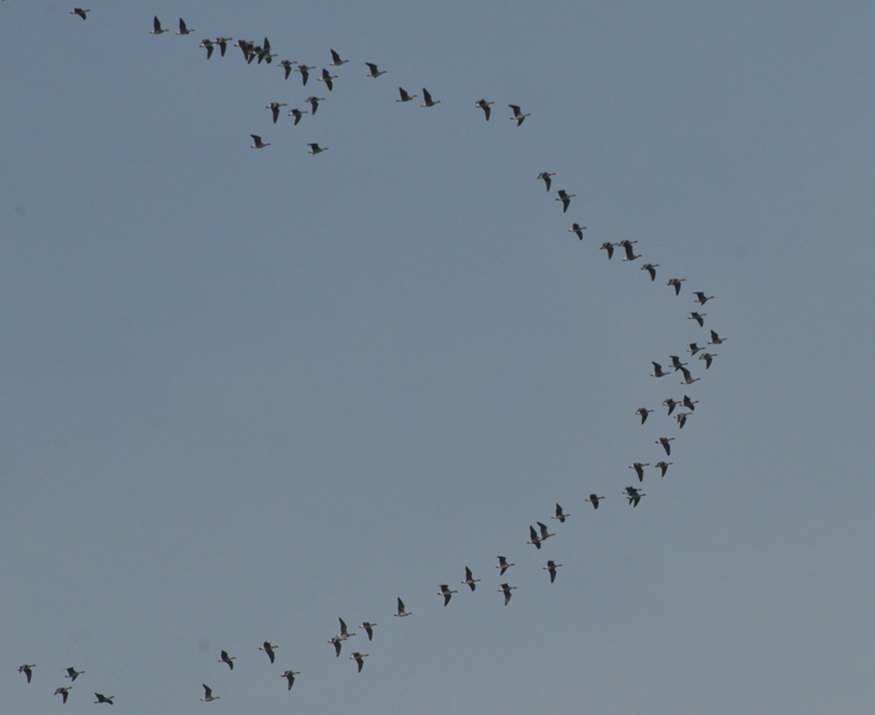 Geese flying across the sky in a V formation.