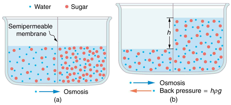 the usage of water in osmotic regulation of cell volume Explain why osmoregulation and osmotic a cell placed in water since osmotic pressure is regulated by the movement of water across membranes, the volume of.