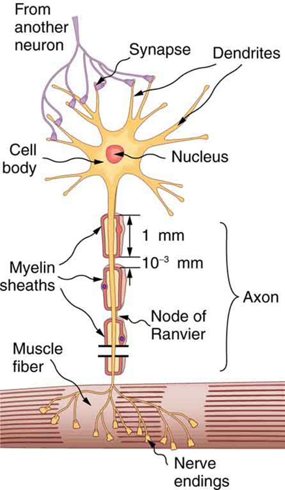 The figure describes a neuron. The neuron has a cell body with a nucleus at the center represented by a circle. The cell body is surrounded by many thin, branching projections called dendrites, represented by ribbon-like structures. The ends of some of these dendrites are shown connected to the ends of dendrites from another neuron at junctions called synapses. The cell body of the neuron also has a long projection called an axon, represented as a vertical tube reaching downward and ending with thin projections inside a muscle fiber, represented by a tubular structure. The ends of the axon are called nerve endings. The axon is covered with myelin sheaths, each of which is one millimeter in length. The myelin sheaths are separated by gaps, called nodes of Ranvier, each of length zero point zero zero one millimeter.