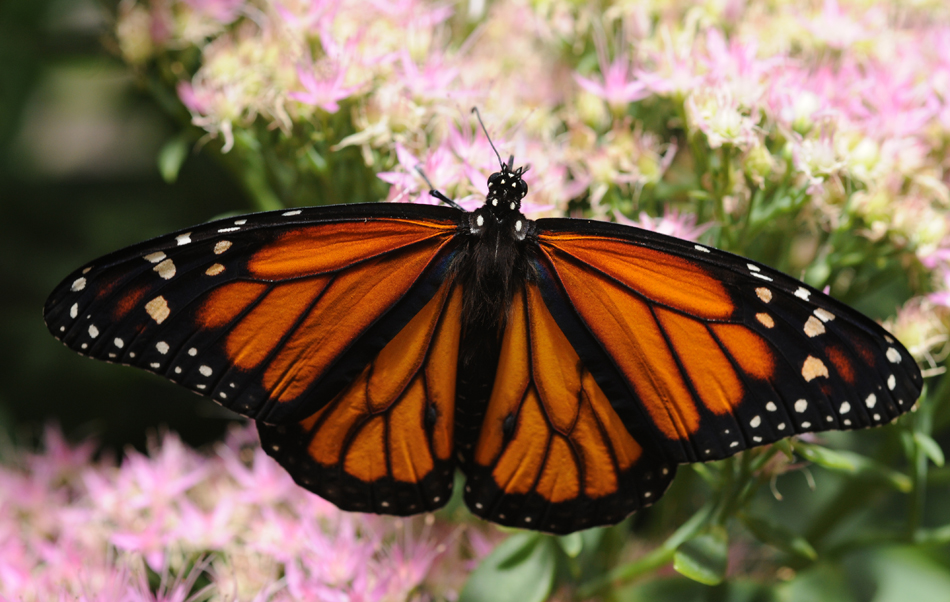 Photograph of a butterfly with its wings spread out symmetrically is shown to rest on a bunch of flowers.