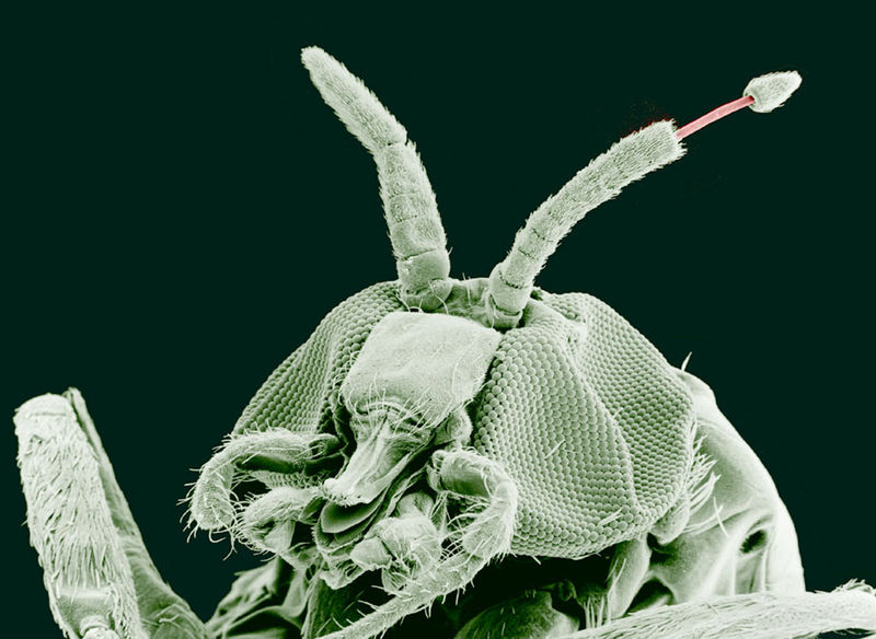 A magnified image of a black fly obtained from an electron microscope showing its antennae and tentacles.