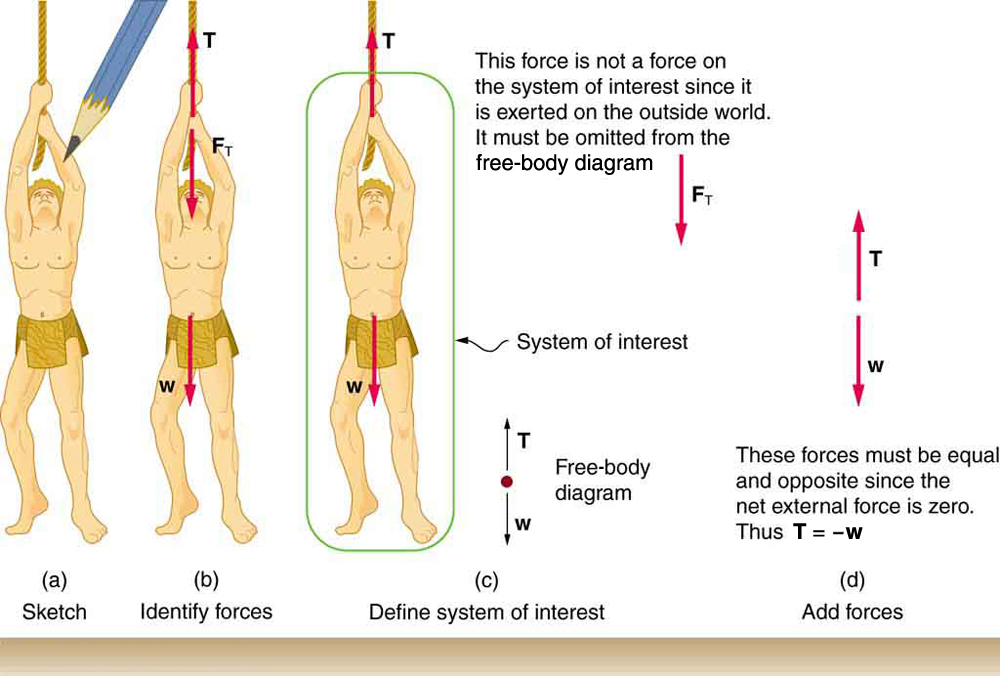 (a) A sketch is shown of a man hanging from a vine. (b) The forces acting on the person, shown by vector arrows, are tension T, pointing upward at the hand of the man, F sub T, from the same point but in a downward direction, and weight W, acting downward from his stomach. (c) In figure (c) we define only the man as the system of interest. Tension T is acting upward from his hand. The weight W acts in a downward direction. In a free-body diagram W is shown by an arrow acting downward and T is shown by an arrow acting vertically upward. (d) Tension T is shown by an arrow vertically upward and another vector, weight W, is shown by an arrow vertically downward, both having the same lengths. It is indicated that T is equal to minus W.