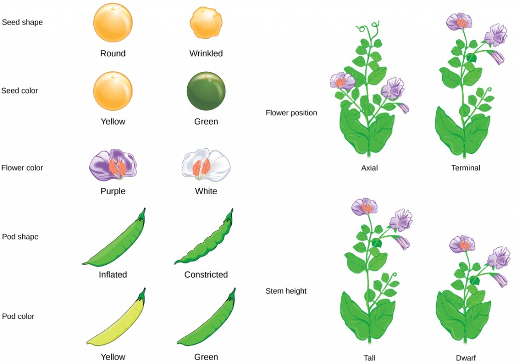 8 1 mendel\u0027s experiments \u2013 concepts of biology 1st canadian edition Avocado Plant Diagram seven characteristics of mendel\u0027s pea plants are illustrated the flowers can be purple or white