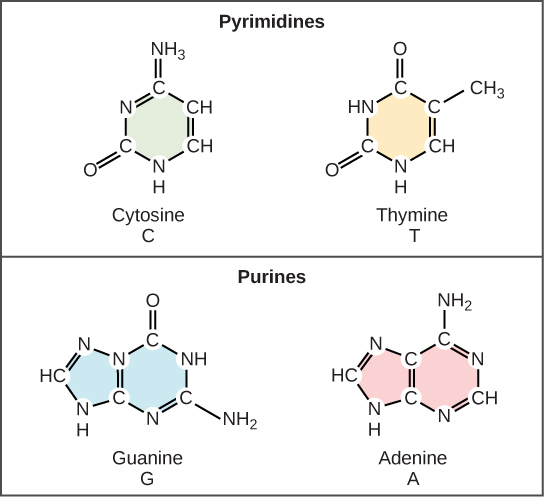 91 the structure of dna concepts of biology 1st canadian edition b cytosine and thymine are pyrimidines guanine and adenine are purines ccuart Choice Image