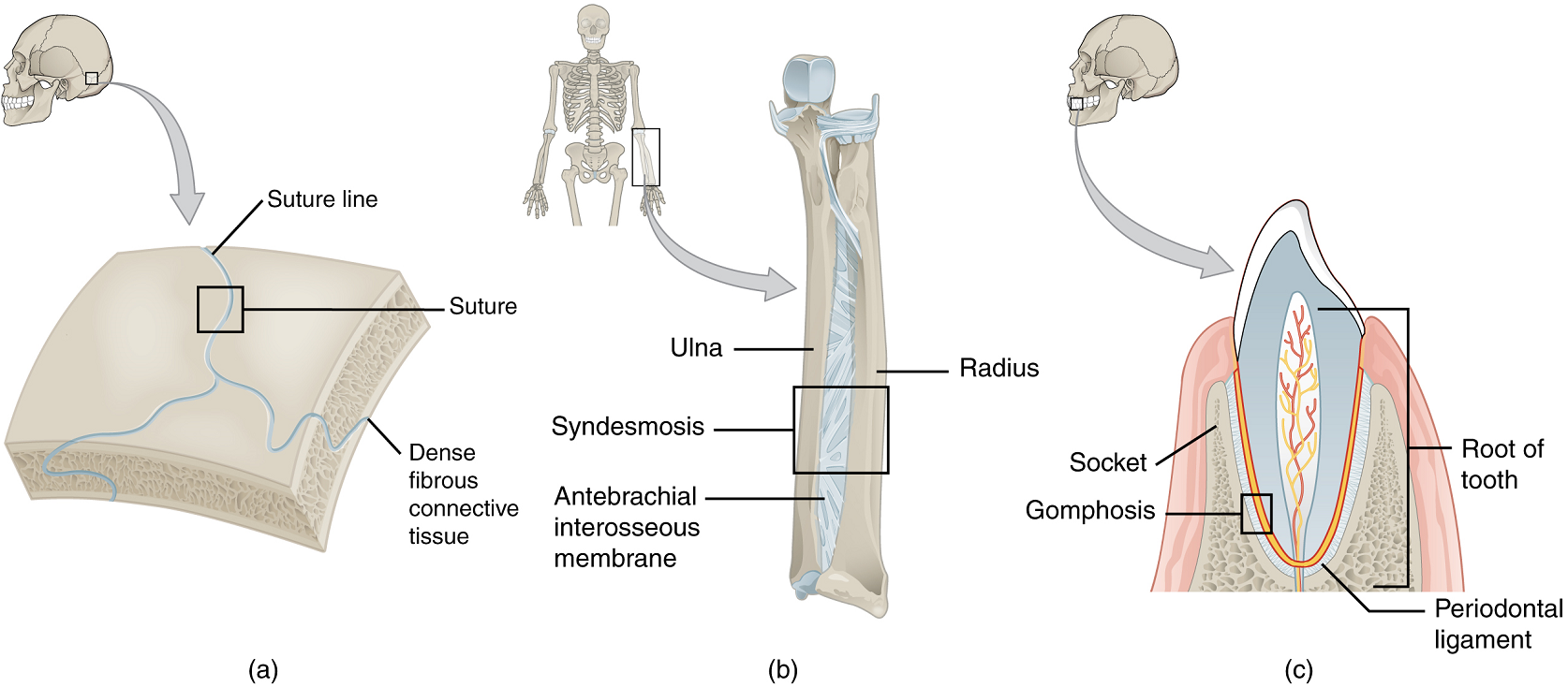 Unit 13 Joints Douglas College Human Anatomy Physiology I 2nd Ed A place in the body where two bones are directly joined together by cartilage (= strong tissue…. unit 13 joints douglas college human