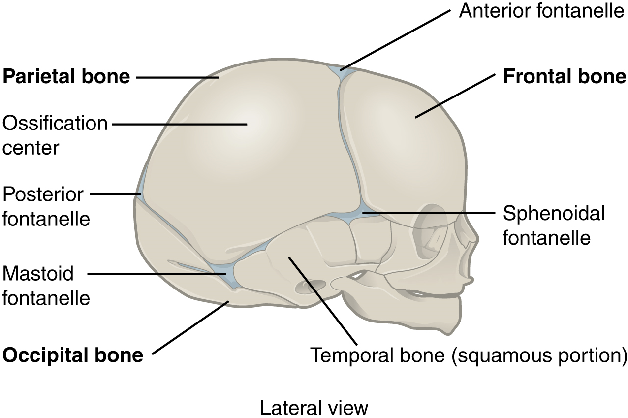 Unit 13 Joints Douglas College Human Anatomy Physiology I 2nd Ed A synchondrosis (or primary cartilaginous joint) is a type of cartilaginous joint where hyaline cartilage completely joins together two bones.1 synchondroses are different than symphyses. unit 13 joints douglas college human