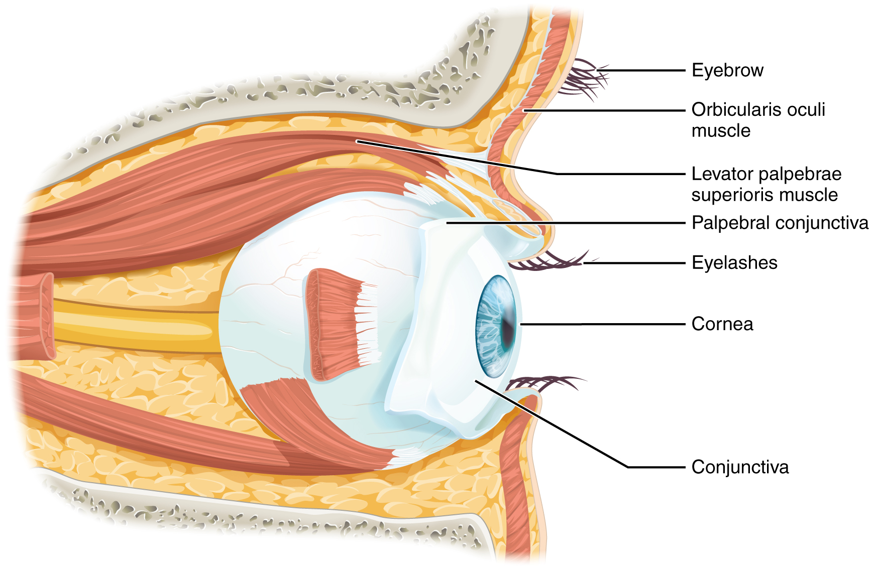Outside Eye Diagram Labelled - All Kind Of Wiring Diagrams •