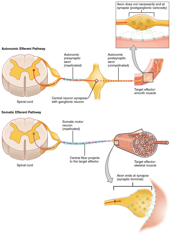 15.2 Autonomic Reflexes and Homeostasis – Douglas College Human ...