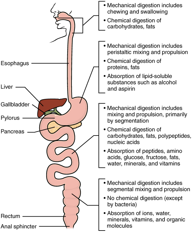23.7 Chemical Digestion and Absorption: A Closer Look..