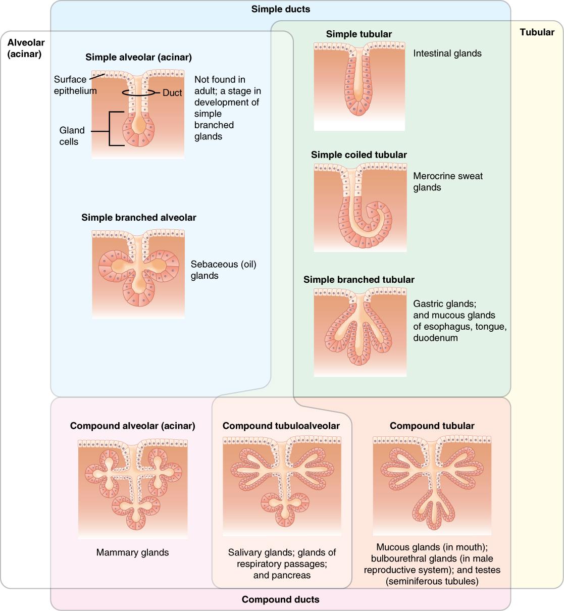 4 2 Epithelial Tissue  U2013 Douglas College Human Anatomy And