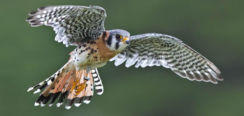 Photo of a bird in flight.