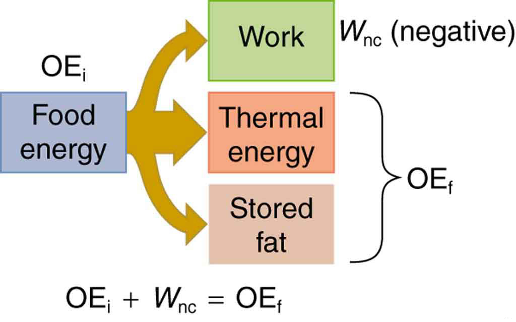 A schematic diagram of energy consumed by humans and converted to various other forms is shown. Food energy is converted into work, thermal energy, and stored fat depicted by an arrow branching out of food energy and ending at these three forms. Stored fat plus thermal energy is equal to the final other energy, labeled O E sub f, and nonconservative work is shown by W sub n c, which is negative, so the initial other energy, labeled O E sub i, plus W sub n c is equal to O E sub f .