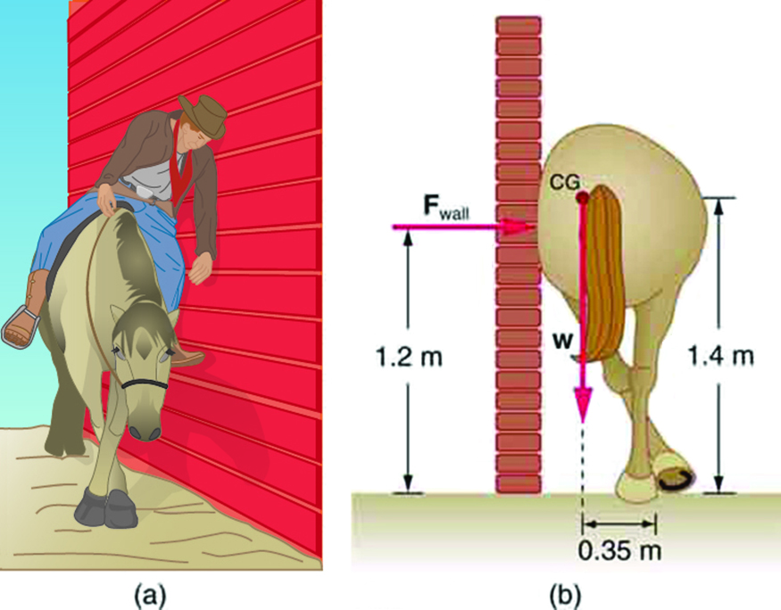 In part a, a horse is standing next to a wall with its legs crossed. A sleepy-looking rider is leaning against the wall. Part b is a drawing of the same horse from a rear view, but this time with no rider. The horse is crossing its rear legs, and its rump is leaning against the wall. The reaction of the wall F is acting on the horse at a height one point two meters above the ground. The weight of the horse is acting at its center of gravity near the base of the tail. The center of gravity is one point four meters above the ground. The line of action of weight is zero point three five meters away from the feet of the horse.