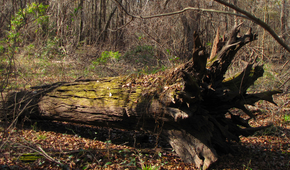 Photograph of an old tree in a forest that had fallen some time ago.
