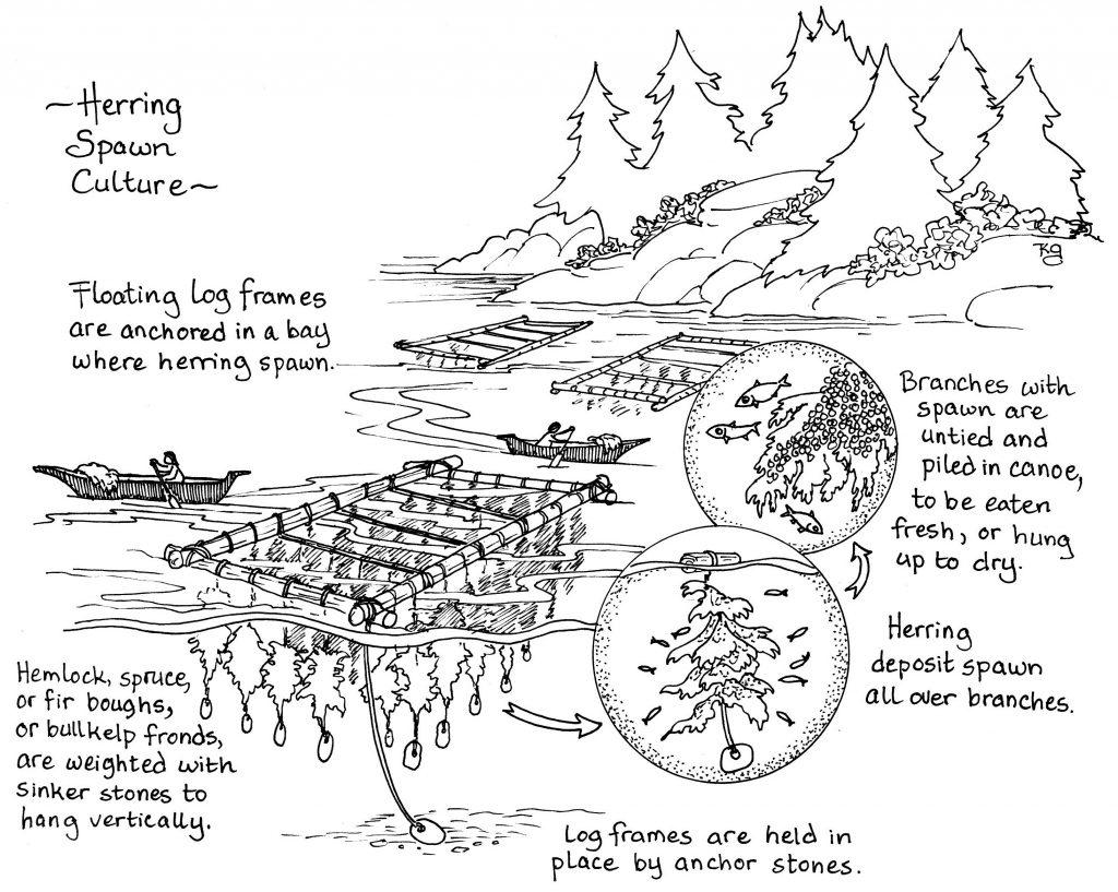Herring spawn culture