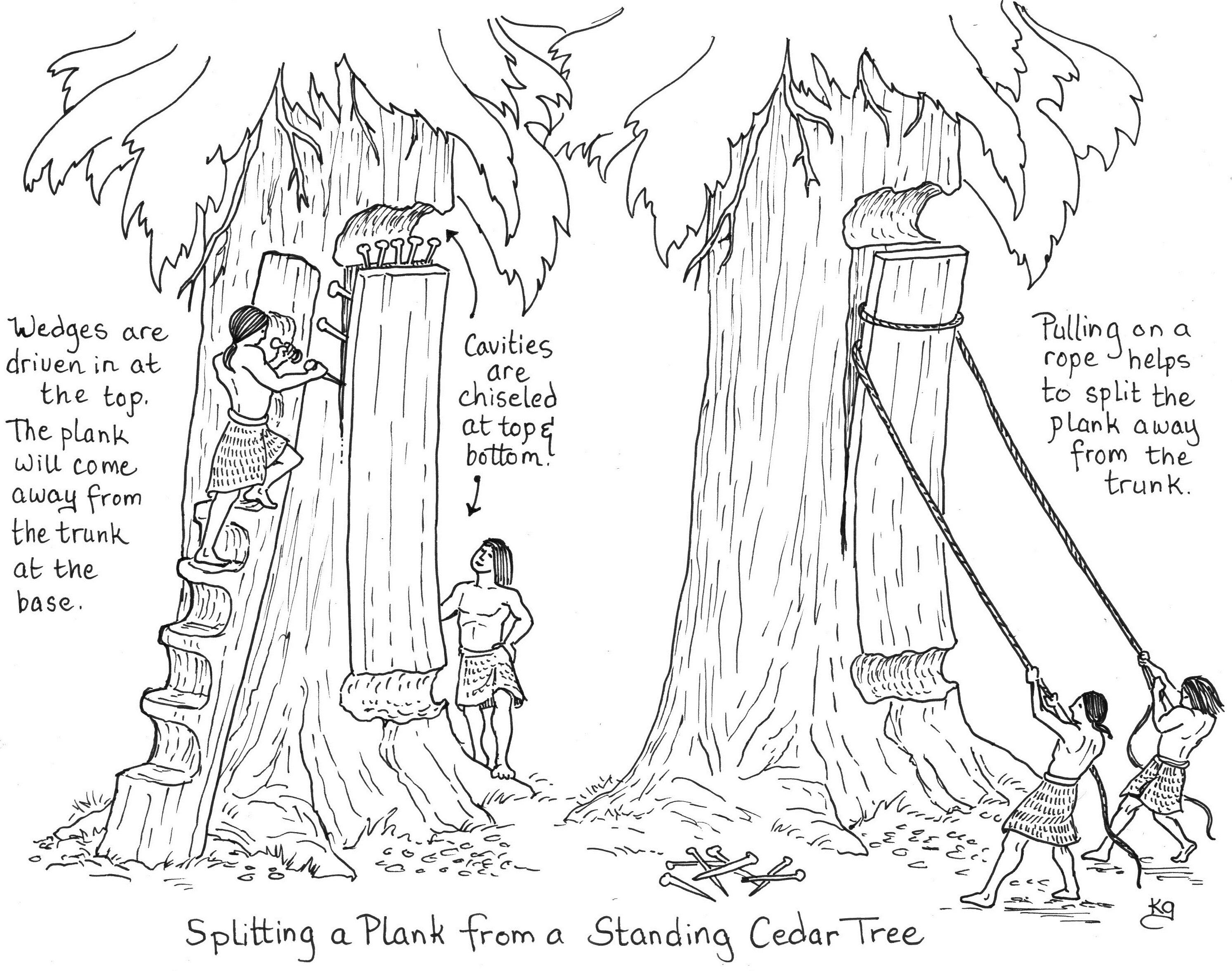 Splitting a cedar plank from a standing cedar tree