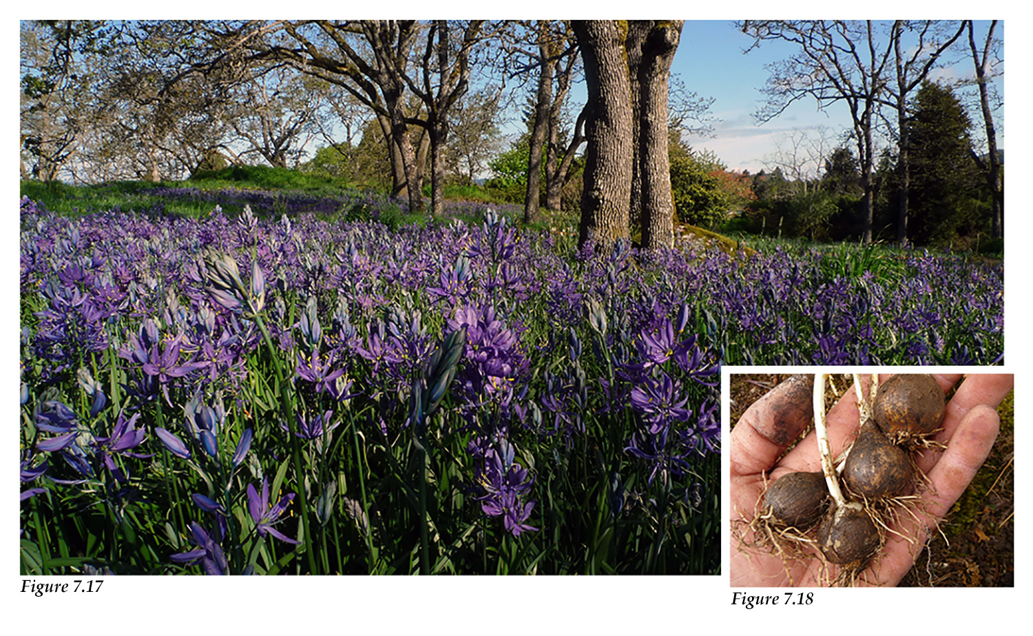 Garry oak meadow with blue camas, roots, and bulbs