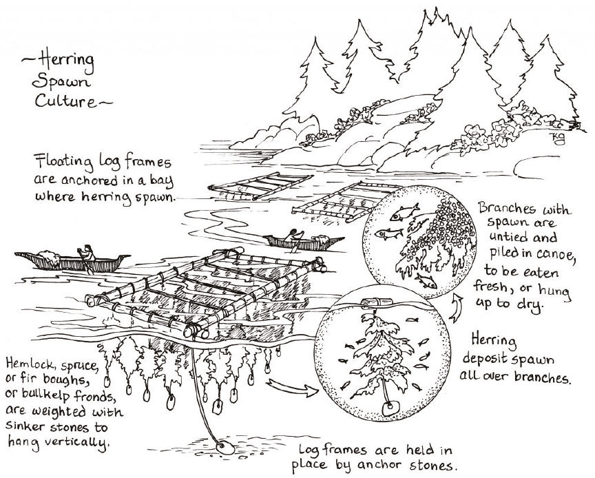 Image describing herring spawn culture: herring spawn in floating log frames that are held in place by anchor stones. Hemlock, spruce, and fir boughs, or bullkelp fronds hang vertically from the frames. Herring deposit spawn all over the branches. Branches with spawn are untied and piled in canoes, to be eaten fresh or hung up to dry.