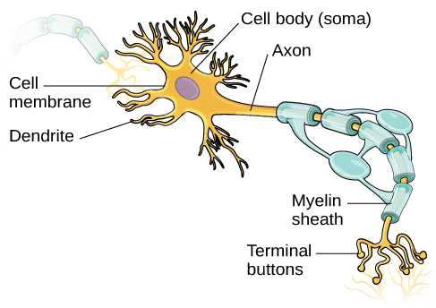 Cells of the nervous system introduction to psychology i an illustration shows a neuron with labeled parts for the cell membrane dendrite cell ccuart Choice Image