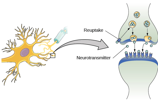 The synaptic space between two neurons is shown. Some neurotransmitters that have been released into the synapse are attaching to receptors while others undergo reuptake into the axon terminal.