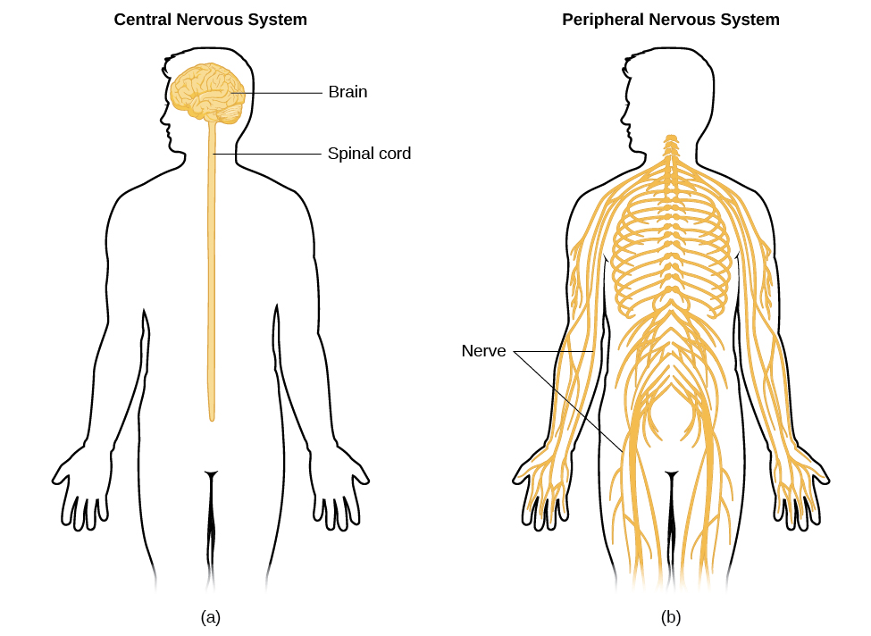 Image (a) shows an outline of a human body with the brain and spinal cord illustrated. Image (b) shows an outline of a human body with a network of nerves depicted.