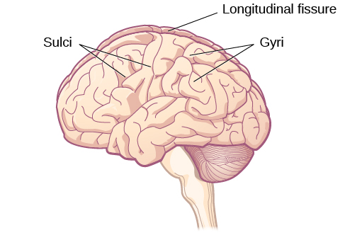 An illustration of the brain's exterior surface shows the ridges and depressions, and the deep fissure that runs through the center.