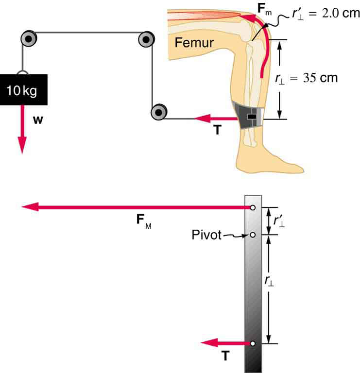 A machine for leg exercise is shown. A wire is tied to a cuff around the lower part of a leg. This wire passes over three pulleys and is connected to a ten kg weight. The tension in the wire is shown near the leg in the direction of the wire. On the leg, a point on knee is shown as the pivot. The distance between the pivot and the point where the wire is tied to the leg is thirty five centimeters. A free-body diagram of the leg, represented as a pole, is shown.